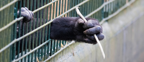 Great apes in cage with hands reaching out