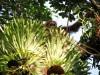 Orang outan de Sumatra dans le parc de Gunung Leuser - site mixte : réserve de biosphère et site du patrimoine mondial