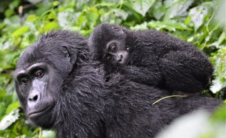 Mountain Gorilla mother and kid