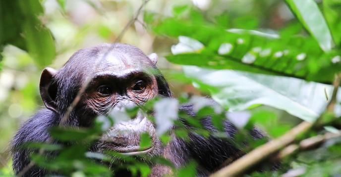 Chimpanzee behind branches / chimpanzé derrière branches